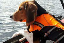Bella the Beagle / Beagle