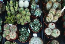 Plant/Cactus