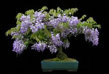 ♥╰⊰✿ Bonsai ✿⊱╮♥ / Welcome To The Beautiful, Ancient Art Of Bonsai,  Living art. ✿ڿڰۣ(̆̃̃•Aussiegirl / by ✿⊱╮Aussiegirl ♛