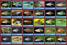 akvarium fiskar