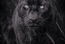 пантера