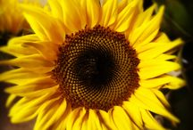 Flower of the Day / A flower cannot blossom without sunshine, and man cannot live without love.