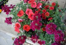 Outdoors>Plants>Annuals / Potting Plants for Spring & Summer / by ✿⊱  ღ   Linda Rhoades   ღ   ⊰✿