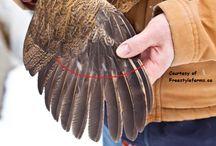jungle fowl tips