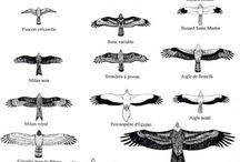 aigle faucon
