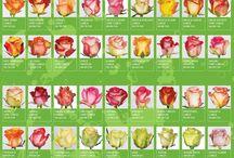 Garden - Roses
