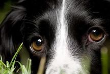 Border collies / by Lucy Forren
