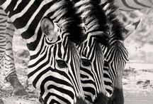 Zebras/stripey things