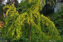 Ornamentel trees