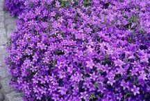flores rastreras de bellos colores...