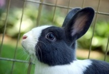Pet Rabbits / Rabbit cages and hutches, raising rabbits, household pets, what can rabbits eat, rabbit care