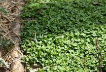 Grow mustard as a cover crop