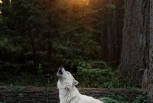 Wolf / This magical creatures