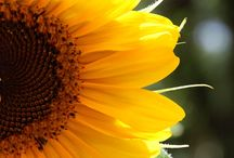 Sunflowers / Like Sunshine, They Bring Happiness! / by Pat Christopherson