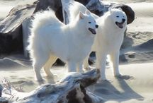 Samoyeds / by Sue Simkover
