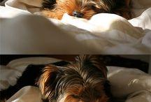 ♥ Yorkshire Terrier ♥