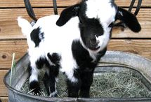 Goats / Cute Animals