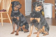 For Rottweiler Lovers / All about Rotties for all the Rottie lovers out there! Adrienne Farricelli ©