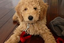 Goldendoodles Puppy / Goldendoodles inherit their desire to please from their golden mom and the intelligence to do it really well from their poodle dad.