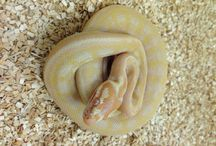 Carpet Pythons / For all of our Carpet Python Selection: http://bhb-reptiles.myshopify.com/collections/pythons