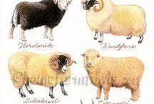 Sheep_Goat_Beef