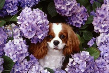 """.  .  . CAVALIER KING CHARLES SPANIELS .  .  In Memory of """"Polo""""    .  .  . / Cavalier King Charles Spaniels are loving, devoted, playful, loyal & always happy ..... as can be recognized by their ever-wagging tails.  They have marvelous big brown eyes which give them a puppy face, no matter their age.  The breed comes in four corporations:  Blenheim, Tri-Color, Ruby and Black&Tan."""