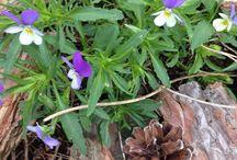 Luonnon kukat / Saaristossa