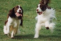 English Springer Spaniels / by Dogsclub .TV