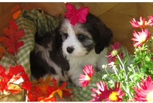 Miss Bella / Miss Bella is a Cavachon ...half King Charles Cavalier and half Bichon Frise.  