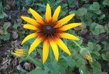 Virágok / Erdei, mezei és kerti virágok. [A minőség nem a legjobb mivel mobillal készültek / készülnek a kép(ek).]