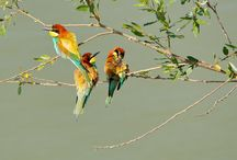 Prigoria (Merops apiaster) / The European bee-eater (Merops apiaster) is a near passerine bird in the bee-eater family Meropidae. It breeds in southern Europe and in parts of north Africa and western Asia. It is strongly migratory, wintering in tropical Africa. This species occurs as a spring overshoot north of its range, with occasional breeding in northwest Europe.