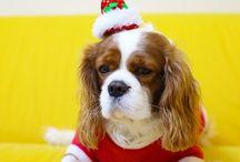 KOMAT / cavalier king charles, dog,puppy