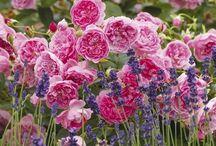 Rose & Lavender Love / by Michelle M McGrath