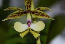 Moje orchideje / www.parviflora.blog.cz