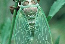 """Cicadas are the soundtrack of August / The lovely cicada that """"sings"""" at the end of summer"""