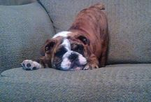 English bulldog love! / I love English bulldogs.!!!