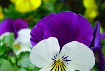 pensamientos / Me encantan los pensamientos............flor mágica / by Ana López