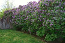 Plants fences