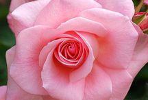Çiçek panum
