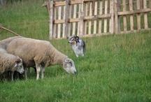 First time with sheeps Vysoký Újezd 21.7.2012