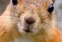veveriț