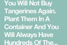 plant tangerines