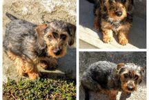 Toto the dachshund