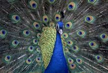 ANIMAL • Peacock