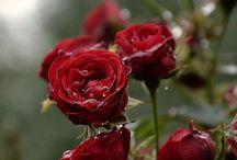 fiori immagini