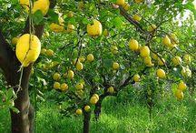 lemons and their groves / lemons