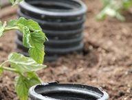 Gardening - Veggies