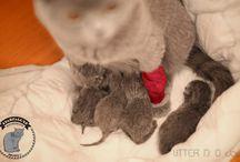 British Shorthair cats - Kittens D / British shorthair cats and kittens - Litter D http://www.starfall.lt/litters/d/