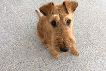 Irish Terrier / Eddie the Eagle