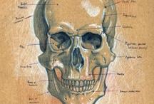 Anatomy / A thorough knowledge of anatomy is compulsory for an acupuncturist!  www.osloakupunkturklinikk.no